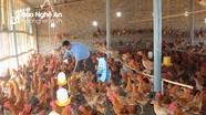 Nông dân Anh Sơn nhân rộng mô hình nuôi gà trên nền đệm lót sinh học