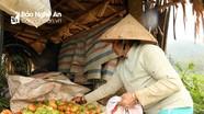 Người trồng cà chua ở miền núi Nghệ An gặp khó vì rớt giá