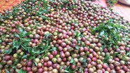 Vùng mận tam hoa lớn nhất ở Nghệ An kêu gọi hỗ trợ tiêu thụ