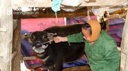 Chủ động phòng bệnh lở mồm long móng ở Nghệ An