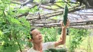 Mướp đắng trĩu giàn ở Hồng Sơn (Đô Lương) chờ tiêu thụ