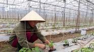 Con Cuông lần đầu tiên đưa giống cà chua địa phương vào nhà màng