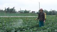 Nông dân Nghệ An dùng gừng, tỏi, ớt phòng ngừa sâu bệnh cho rau