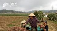 Nông dân Nam Đàn thu 60 triệu đồng/ha từ khoai lang đỏ