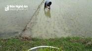 Trước Tết, hơn 320 ha lúa xuân ở Thanh Chương bị chết rét