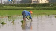 Nông dân ra đồng cấy lại lúa xuân