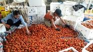 Nông dân khóc ròng vì cà chua... được mùa
