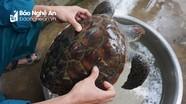Nghệ An: Ngư dân bắt được rùa biển quý hiếm nặng 5kg