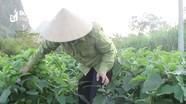 Nông dân Nghệ An trồng cà pháo phủ nilon tăng năng suất gấp đôi