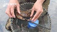 Nghệ An: Độc chiêu săn cua đá kiếm tiền triệu mỗi ngày