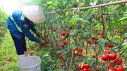 Cà chua tăng giá, nông dân phấn khởi vì có lãi