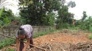 Nông dân Tân Kỳ ế 2.000 tấn nghệ