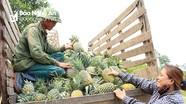 Trồng dứa giống mới, nông dân Nghệ An thu lãi 120 triệu đồng/ha