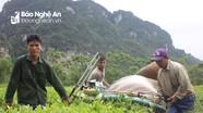Cây chè Con Cuông cho thu hoạch khá và bán được giá