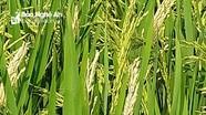 Gần 100 ha lúa trắng bông, khô ngọn ở Nghĩa Đàn