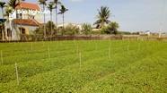 Trồng thành công giống rau má hoang trong vườn nhà