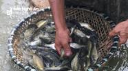 Nghệ An: Hiệu quả mô hình thả bèo hoa dâu chống nóng cho cá giống