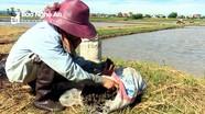 Nông dân Diễn Châu bắt diệt hàng tấn ốc bươu vàng bảo vệ lúa hè thu