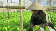 Con Cuông: Rau cải trong nhà lưới cháy hàng mùa nóng