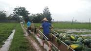 Hơn 50 đoàn viên thanh niên giúp dân thu hoạch dưa chạy lụt