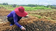 'Bí quyết' trồng hành tăm năng suất cao của nông dân Đô Lương