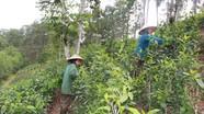 Anh Sơn trồng thí điểm chè Gay theo tiêu chuẩn VietGAP