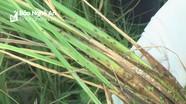 Gần 250 ha lúa ở Diễn Châu bị nhiễm rầy mật độ cao có nguy cơ mất mùa