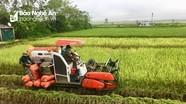 Đô Lương: Gặt lúa hè thu sớm tránh rầy nâu