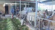 Tân Kỳ nuôi thành công giống bò Thái Lan