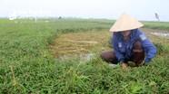 Loại rau chỉ dắt xuống đất, sinh trưởng mạnh phục vụ đắc lực cho chăn nuôi