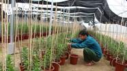 Nông dân miền núi Nghệ An chuyển đất kém hiệu quả sang trồng hoa Tết