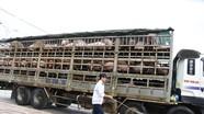 Nghệ An cấp bách phòng bệnh dịch tả lợn châu Phi