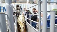 Gần 1.800 con bò sữa cao sản nhập khẩu từ Mỹ về Nghệ An