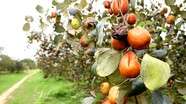 Nông dân Nghệ An bất lực nhìn vườn táo héo rũ, thối quả