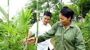 Người dân ở Nghệ An đưa lùng từ rừng về trồng trong vườn nhà