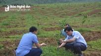 Con Cuông: Trồng mới 60 ha cam Xã Đoài theo công nghệ Nhật Bản
