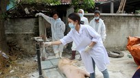 Dịch tả lợn châu Phi tiếp tục hoành hành ở Diễn Châu