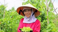 Nông dân Nghệ An thu nhập cao nhờ cây hoa lý trong dịp nắng hạn