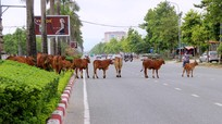 TP Vinh: Bò tràn ra đại lộ, ăn trụi cây cảnh và cản trở giao thông