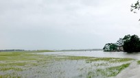 Gần 1.000 ha lúa của huyện Hưng Nguyên bị ngập do mưa lớn