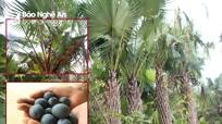 Nghệ An vào mùa thu hoạch quả cọ đặc sản