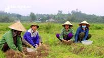 Nghệ An: Hành tăm được mùa lớn nhờ lá 'quý như vàng'