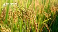 Hưng Nguyên sản xuất thành công nhiều giống lúa chất lượng cao