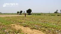 Nông dân Nghệ An 'thua' nặng vụ dưa lê