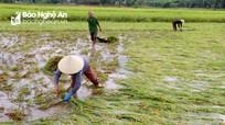 Hàng trăm ha lúa, hoa màu sắp thu hoạch ở Nghệ An đổ rạp sau trận mưa lớn