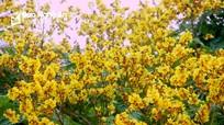 Hoa điệp vàng khoe sắc giữa phố núi xứ Nghệ