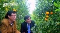 Quýt Jeju lần đầu tiên được trồng tại Nghệ An đạt năng suất gần 12 tấn/ha