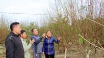 Nghệ An: Lượng người đặt mua đào vườn chơi tết tăng đột biến