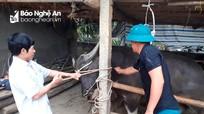 Nghệ An: Đồng loạt tiêm trên 50.000 liều vắc-xin viêm da nổi cục cho trâu, bò