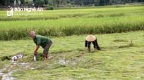 Nghệ An: Tập trung khắc phục hàng trăm héc-ta lúa đổ do mưa lớn